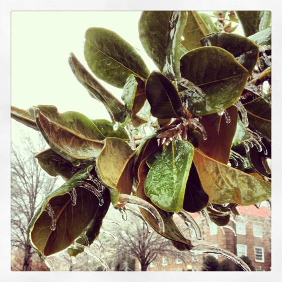 icy magnolias